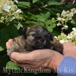 Mi-Ki puppies for sale