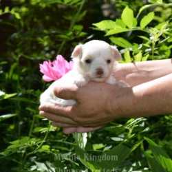 buy blue eyed chinese crested puppy