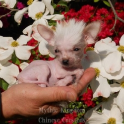 world smallest hairless dog