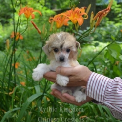 buy chinese crested dog north carolina