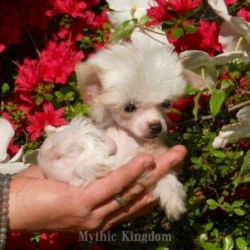 Best Chinese Crested breeders