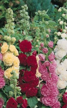 Alcea Hollyhock assorted colors