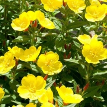 Evening Primrose yellow