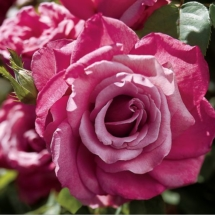 Heirloom tea rose pink