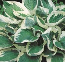 Hosta Wide Brim medium leaf