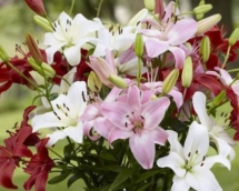 Lily Asiatic summer wine mix