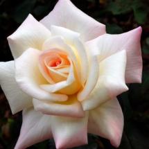 Pristine tea rose