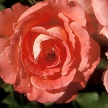 Waiheke rose