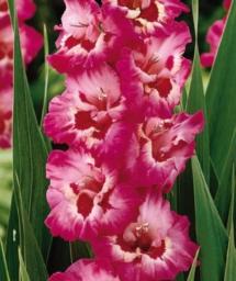 gladioius pink